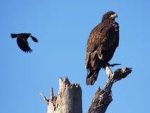 Blackbird attacks young eagle royalty free stock photo