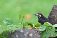 Blackbird baby Stock Photography
