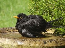 Blackbird bathtime. Blackbird having a bath in sunny English garden Royalty Free Stock Photos