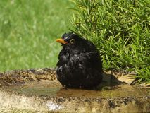 Blackbird bathtime. Blackbird having a bath in sunny English garden Stock Photos