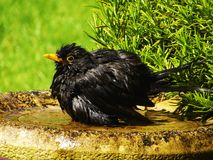Blackbird bathtime. Blackbird having a bath in sunny English garden Royalty Free Stock Photography