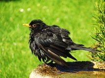 Blackbird bathtime. Blackbird having a bath in sunny English garden Royalty Free Stock Photo