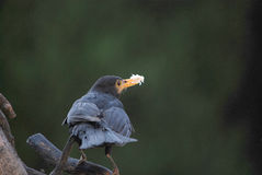 Blackbird with a bill full of food Royalty Free Stock Photography