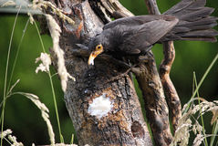 Blackbird with a bill full of food. A picture of a European blackbird with its bill full of fat taken from a bird feeder stock photo