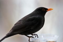 A blackbird at a bird feeder stock photo