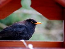 Blackbird in a bird house. Backbird in winter searching for birdseed Royalty Free Stock Photography
