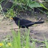 Blackbird bird with yellow eyes and a yellow beak runs along the. Path among the grass Stock Photos