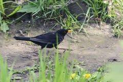 Blackbird bird with yellow eyes and a yellow beak runs along the. Path among the grass Royalty Free Stock Photo
