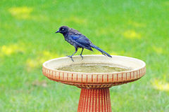 Blackbird in birdbath, corvid. Blackbird on edge of birdbath after cleaning feathers Royalty Free Stock Photos