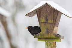 Blackbird at a birdfeeder. Blackbird sitting and looking at a bird feeding Stock Image