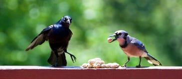 blackbird blåa jay Fotografering för Bildbyråer