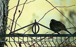 Blackbird. The black bird sitting on a fence Stock Photography