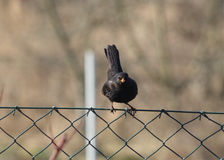 Blackbird. A black bird sitting on a wall Stock Image