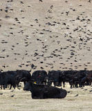 Blackbird and Black Cows. A flock of red-winged and tri-color blackbirds (Agelaius phoeniceus) flying around a herd of black cows royalty free stock photos