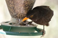 Blackbird. Turdus merula cabrerae. Male eating on a bird feeder. The Nublo Rural Park. Tejeda. Gran Canaria. Canary Islands. Spain Royalty Free Stock Photography