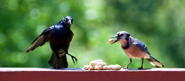 Blackbird and Blue Jay Stock Image