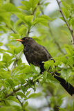 Blackbird on the branch. There is a male blackbird in the photo. This bird is sitting on a branch Stock Image