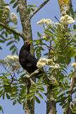 Blackbird on a branch Royalty Free Stock Images