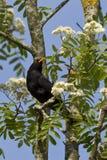 Blackbird on a branch. Blackbird on a flourishing branch of a sorb Royalty Free Stock Images