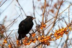 Blackbird on a branch Stock Photos