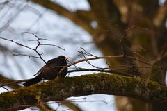 Blackbird on a branch with moss Stock Photo