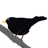 Blackbird on a branch Stock Images
