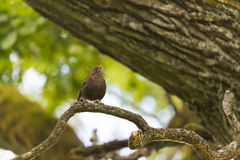 Blackbird on branch Stock Photo