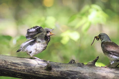 Blackbird brought his chick to eat a worm. Bird Blackbird brought his chick to eat a worm royalty free stock photo