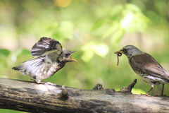 Blackbird brought his chick to eat a worm. Bird Blackbird brought his chick to eat a worm stock image