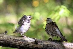 Blackbird brought his chick to eat a worm. Bird Blackbird brought his chick to eat a worm stock images