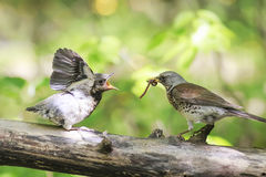 Blackbird brought his chick to eat a worm. Bird Blackbird brought his chick to eat a worm stock photography