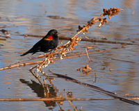 Blackbird Burry Perch Royalty Free Stock Photo
