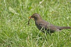 Blackbird carrying worms stock image