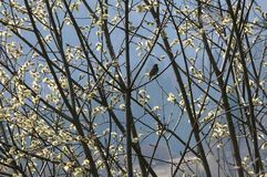 Blackbird on catkins Stock Images