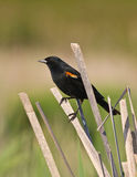 Blackbird on cattail reed Stock Image
