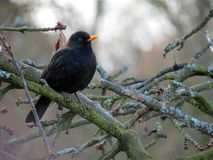 Blackbird  on a cherry tree. Blackbird sitting at a cherry tree Royalty Free Stock Photography