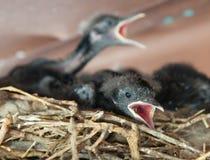 Blackbird Chick Stock Photography