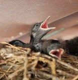 Blackbird Chick Stock Photos