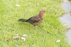 Blackbird chick. In spring on grass stock photo