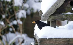 Blackbird chilling in the snowy birdhouse Royalty Free Stock Photography