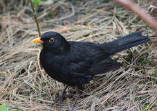 Blackbird close stock photography