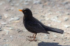 Blackbird close up Stock Image