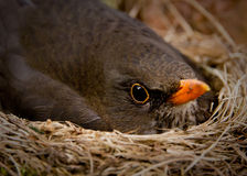 Blackbird. Closeup photo of blackbird sitting in the nest stock photography