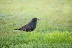 Blackbird collecting food Stock Photo
