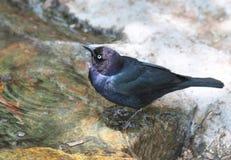 Blackbird Royalty Free Stock Images
