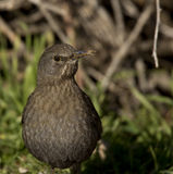 Blackbird with a Crooked Bill. A blackbird with a crooked bill is looking around for food Royalty Free Stock Image