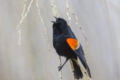 blackbird czerwony skrzydlaty stwór Fotografia Stock