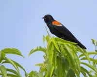 blackbird czerwony skrzydlaty stwór Zdjęcie Royalty Free