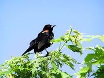 blackbird czerwony skrzydlaty stwór Obrazy Stock