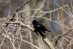 blackbird czerwony skrzydlaty stwór Fotografia Royalty Free
